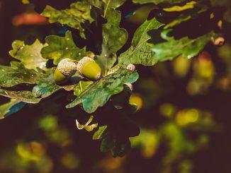 acorns-3535510_640
