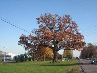 oak-at-region-002
